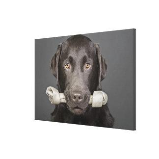 Studio portrait of chocolate labrador carrying canvas print
