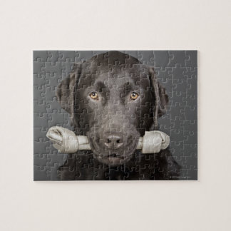 Studio portrait of chocolate labrador carrying jigsaw puzzle
