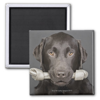 Studio portrait of chocolate labrador carrying refrigerator magnets