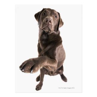 Studio portrait of Chocolate Labrador Postcard