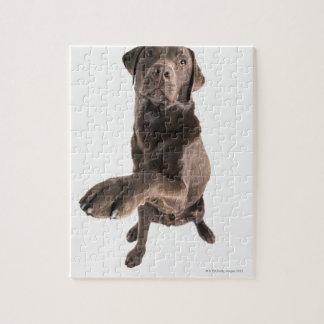 Studio portrait of Chocolate Labrador Puzzle