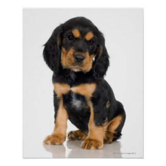 Studio portrait of Rottweiler puppy Poster