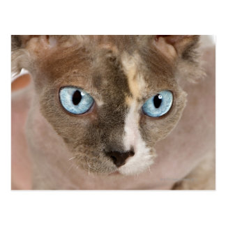 Studio portrait of Sphynx cat Postcard