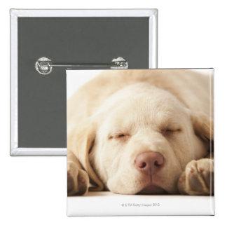 Studio portrait of Yellow Labrador Retriever Button