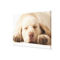 Studio portrait of Yellow Labrador Retriever Canvas Print