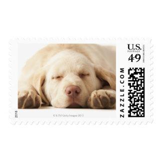 Studio portrait of Yellow Labrador Retriever Stamps