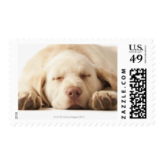 Studio portrait of Yellow Labrador Retriever Postage Stamp