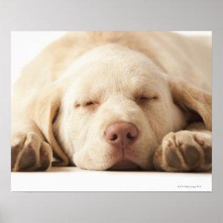 Studio portrait of Yellow Labrador Retriever Poster
