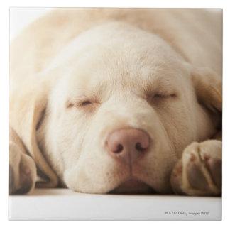 Studio portrait of Yellow Labrador Retriever Tile