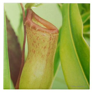 Studio shot close-up of pitcher plant large square tile