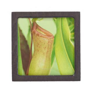 Studio shot close-up of pitcher plant premium gift box