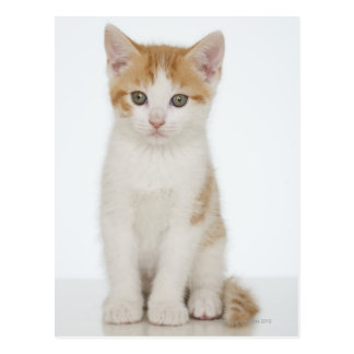 Studio shot of kitten postcard