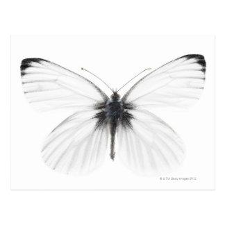 Studio shot of sharp-veined white butterfly postcard