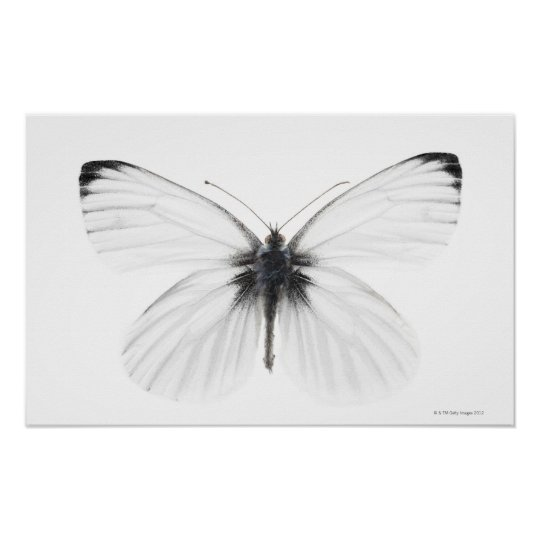Studio shot of sharp-veined white butterfly poster