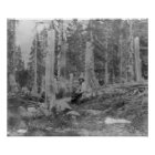 Stumps of Trees Cut down by Donner Party Poster