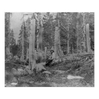 Stumps of Trees Cut down by Donner Party Posters