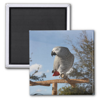 Stunning African Grey Parrot 2 Inch Square Magnet