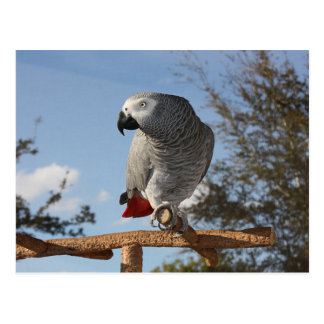 Stunning African Grey Parrot Postcard