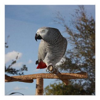 Stunning African Grey Parrot Poster