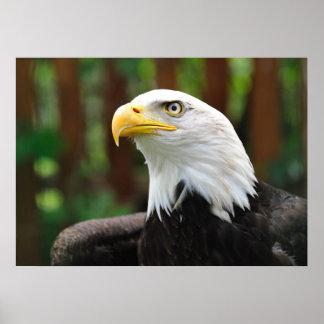 Stunning BALD EAGLE Patriotic American USA Bird Poster