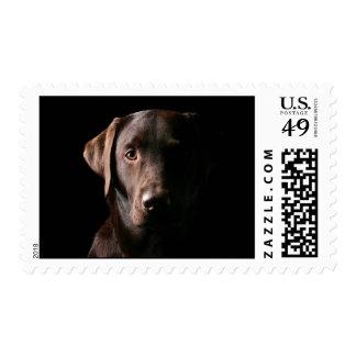 Stunning Chocolate Labrador Postage Stamps
