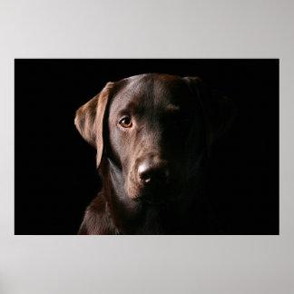 Stunning Chocolate Labrador Poster