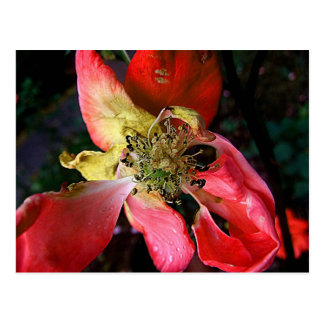 Stunning Delicate Weathered Winter Red Rose Postcard
