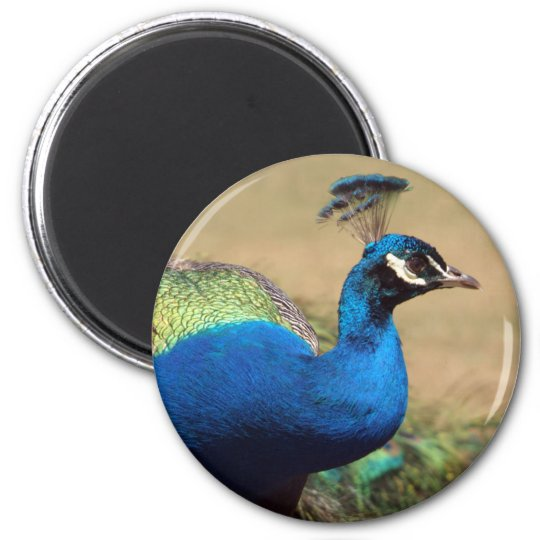 Stunning Indian Peacock Magnet