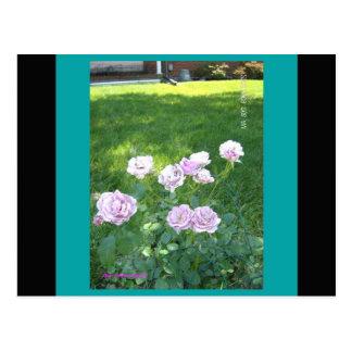 Stunning Lavendar Roses Postcards