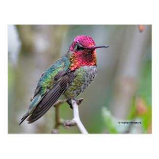 Stunning Male Anna's Hummingbird on the Plum Tree Postcard