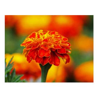 Stunning Orange Marigold Postcard