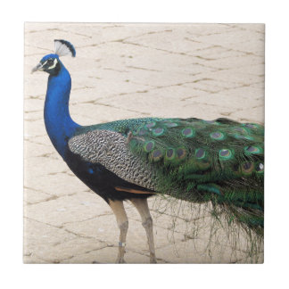 Stunning Peacock Small Square Tile