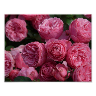 Stunning Pink Roses Poster