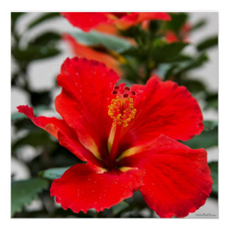 Stunning red-orange hibiscus poster