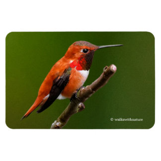 Stunning Rufous Hummingbird on the Cherry Tree Magnet