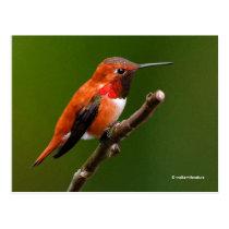 Stunning Rufous Hummingbird on the Cherry Tree Postcard