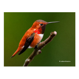 Stunning Rufous Hummingbird on the Cherry Tree Postcard