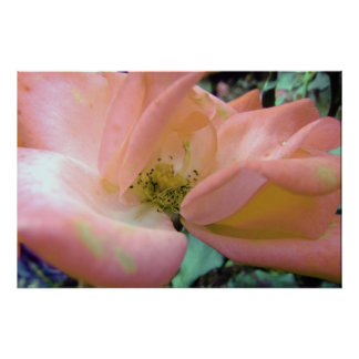 Stunning Soft Peach Delicate Rose Poster