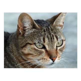 Stunning Tabby Cat Close Up Portrait Postcards