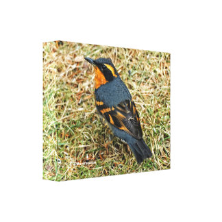 Stunning Varied Thrush on the Lawn Canvas Print