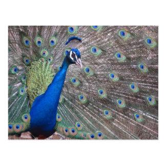 Stunning Vintage Peacock Postcard