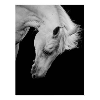 Stunning white horse on black looking down postcard
