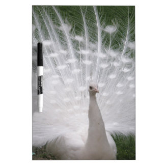 Stunning white Peacock ( Peafowl) full plume Dry-Erase Board