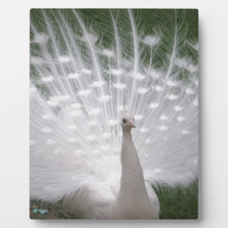 Stunning white Peacock ( Peafowl) full plume Photo Plaque