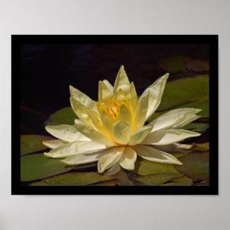Stunning White & Yellow Lotus Blossom Poster