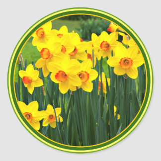 Stunning Yellow Daffodils for March Birthday Classic Round Sticker