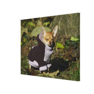 Stylish Dressed Chihuahua Puppy Canvas Print
