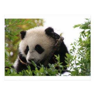 Su Lin, cachorro de oso de panda gigante en el par Tarjeta Postal