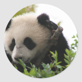 Su Lin, giant panda bear cub at the San Diego Zoo Classic Round Sticker