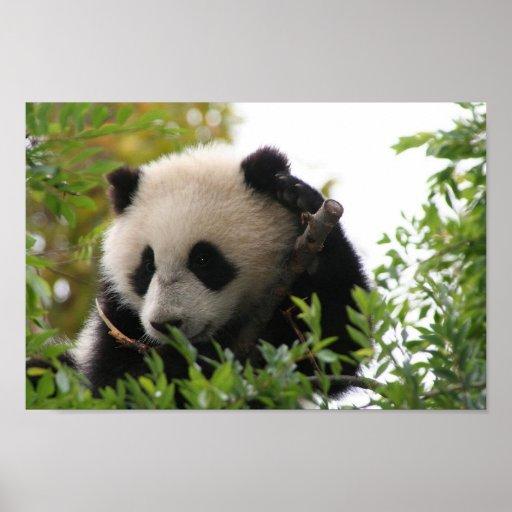 Su_Lin_giant_panda_bear_cub_at_the_San_Diego_Zoo Impresiones